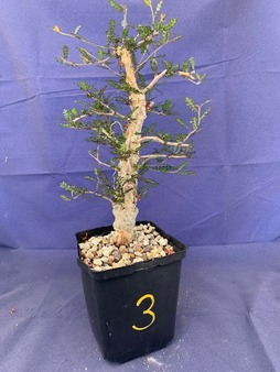 """Operculicarya decaryi #3 in 6"""" Pot - Extra knobby specimen!"""