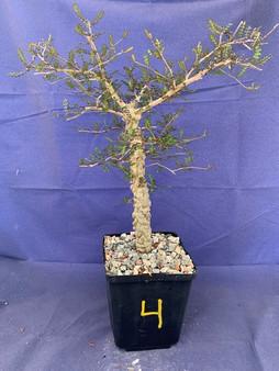 """Operculicarya decaryi #4 in 6"""" Pot - Extra knobby specimen!"""