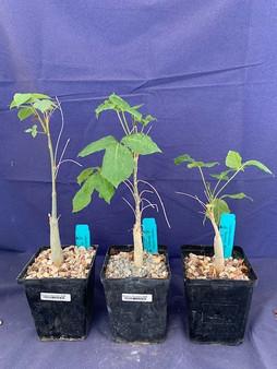 """Commiphora unilobata 5"""" Pots - 3 Available!"""