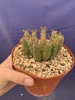 "Euphorbia medusa hybrid #4 - 6"" Pot - inermis x gorgonis?"