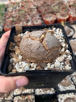 "Dioscorea elephantipes 5"" Pot Specimen G - Shipped in Pot!"