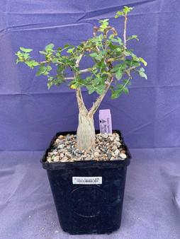 "Bursera fagaroides 6"" Pot - Double trunk specimen!"