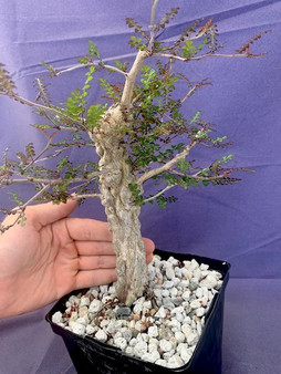 """Operculicarya decaryi  6"""" Pot G - Stubby plant with great knobs!"""