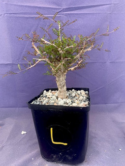 """Operculicarya decaryi  6"""" Pot L - Stubby and knobby plant with a great start to ramification!"""