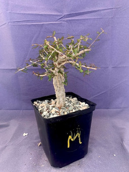 """Operculicarya decaryi  6"""" Pot M - Ready to stage plant with great branching and knobs!"""