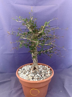 "Operculicarya decaryi  8"" Pot O - Pre-bonsai specimen with knobs and great nebari!"