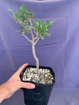 "Bursera microphylla 6"" Pot Specimen - C"