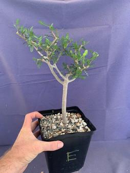 "Bursera microphylla 6"" Pot Specimen - E"