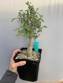 """Anthony's Choice - Bursera fagaroides 6"""" Pot F - 1 of 9 specimens featured in today's TUESDAY CHOOSEDAY!"""