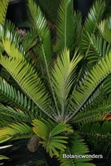 "Encephalartos natalensis ""Vryheid"""