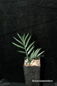 """Encephalartos  trispinosus """"Spineless"""""""