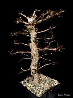 """Operculicarya decaryi, 6"""" pot, ready for bonsai training!"""