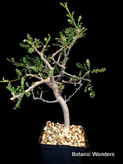 "Bursera microphylla, 6"" pot, Beautiful branching structure! Producing seed!"