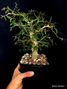 "Operculicarya decaryi 6"" Pot - Perfect bonsai specimen! Great taper from base to growth tip!"
