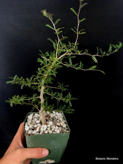 "Operculicarya decaryi 4"" Pot  #403"