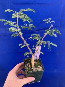 """Acacia burkei 3.5"""" pot"""