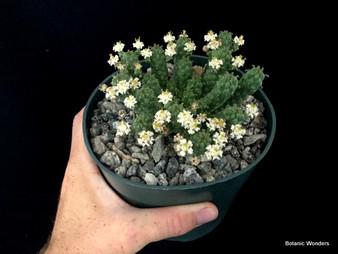 "Euphorbia inermis , 5"" pot,  hard-grown, compact plants! Flowers white!"