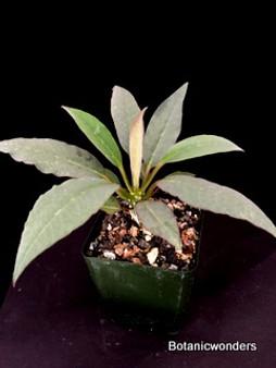 """Euphorbia ankareensis, 3.5"""" pot, nice Madagascar species!"""