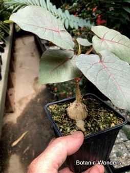 "Ficus petiolaris 4"" pot, nice plants forming thick trunks. Great for bonsai!"
