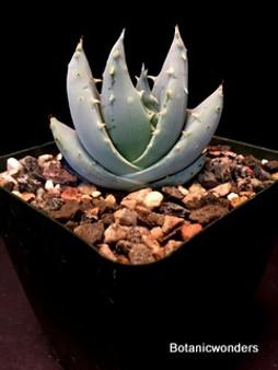 """Aloe peglerae, 3.5"""" pot, Blue small Aloe!"""
