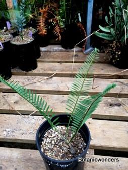 Encephalartos caffer, 1 gal, Rare!
