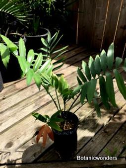 Encephalartos hildebrandtii, 1 gallon, Rare!