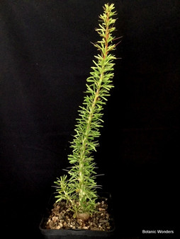 """Fouquieria purpusii, 6"""" pot, Rare!"""