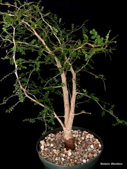 "Operculicarya decaryi, 8"" pot, incredible double-trunk specimen that is ready for bonsai training!"