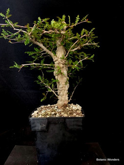 "Operculicarya decaryi 6"" Pot - Fat and knobby plant with great bonsai potential!"