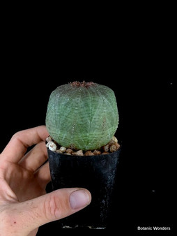 Euphorbia symmetrica Specimen 1 - Almost cylindrical-shaped with great markings!