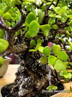 "Portulacaria afra 'Cork Bark' 3.5"" Pots - Well rooted cuttings of this extreme Jade Cultivar! Perfect for Succulent Bonsai!"