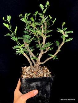 "Senna meriodionalis 6"" Pot - Well rooted cutting with incredible bonsai potential!"
