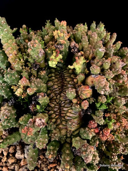 "Euphorbia Medusoid Hybrid 6"" Pot - Incredible Crested-headed Specimen!"