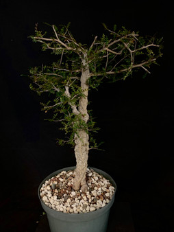 "Operculicarya decaryi #1 in 8"" Pot - Specimen ready for bonsai!"