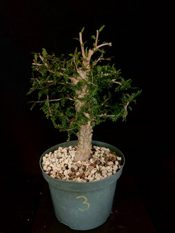 "Operculicarya decaryi #3 in 8"" Pot - Specimen ready for bonsai!"