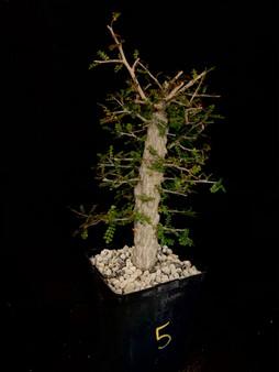 "Operculicarya decaryi #5 in 6"" Pot - Specimen ready for bonsai!"