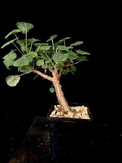 "Pelargonium cotyledonis - ""Windswept"" look in a 5"" pot!"