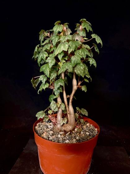 """Begonia dregei 6"""" Pot Specimen #1 - Fat caudex!"""