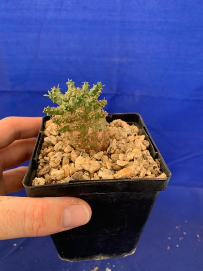 "Euphorbia astrophora - 4"" Pot"
