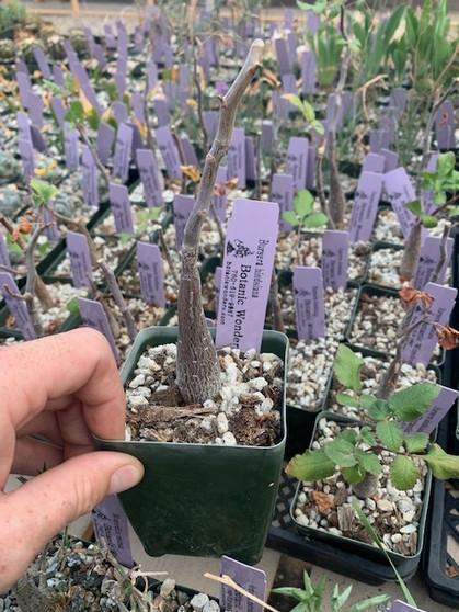 """Bursera hindisana 3.5"""" pots - Dormant and pruned as of 3/12/21"""