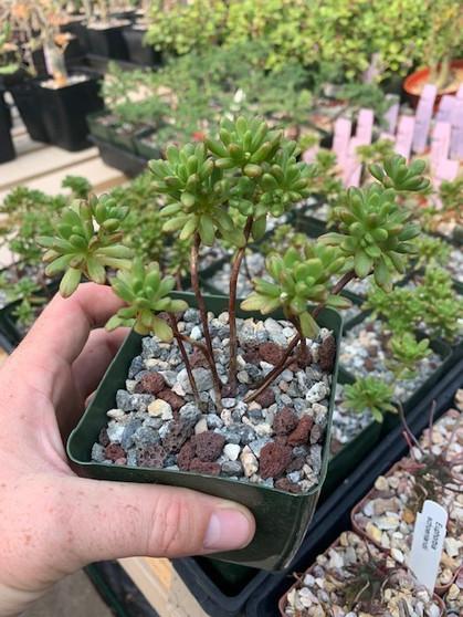 Aeonium sedifolium - Perfect little bonsai Aeoniums!