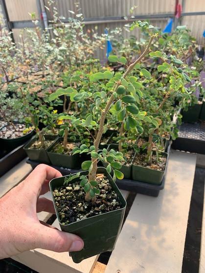 Acacia burkei - Large leaf form!