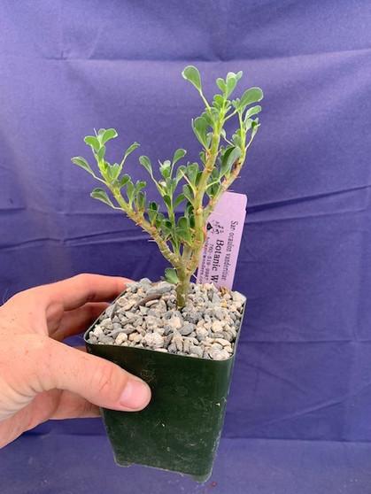 "Sarcocaulon vanderitiae 3.5"" Pots - Blooming size plants!"