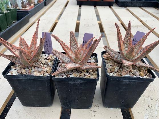 "Aloe 'Mauna Loa'  - 5"" pot - 3 Availalble!"