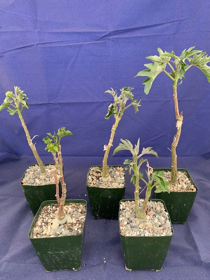 "Adenia volkensii - 3.5"" Pots - 5 Available!"