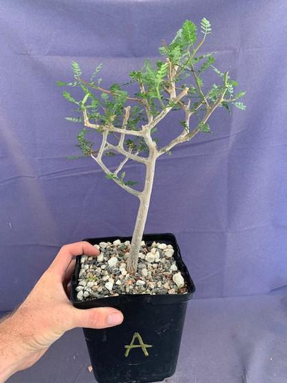 "Bursera microphylla 6"" Pot Specimen A"
