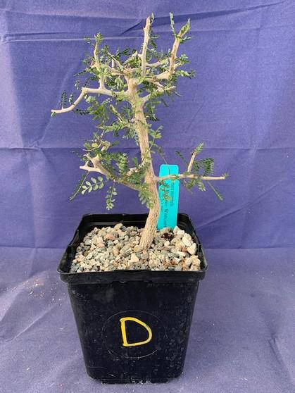 "Bursera microphylla 6"" Pot Specimen D"