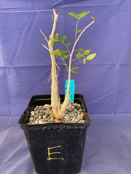 "Bursera fagaroides 6"" Pot Specimen E"