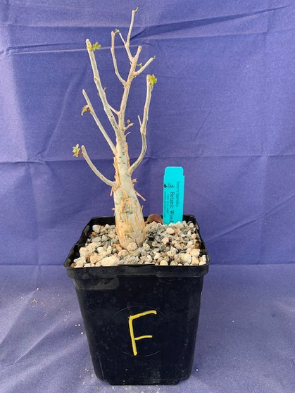 "Bursera fagaroides 6"" Pot Specimen F"