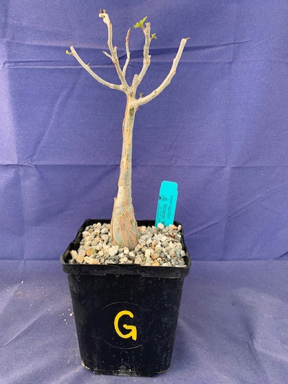 "Bursera fagaroides 6"" Pot Specimen G"